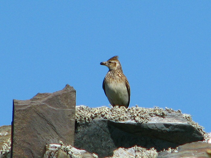 Skylark - Grebe Cliffs