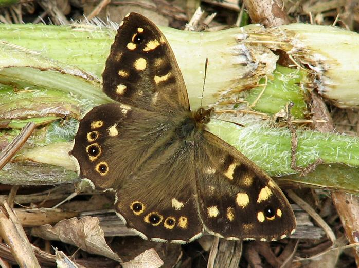 Speckled Wood, Slapton Ley