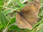 Meadow Brown, Tintagel
