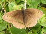 Meadow Brown, Glebe Cliffs