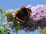 Red Admiral, Plymouth Hoe