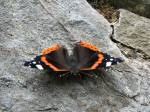 Red Admiral, Rame Head