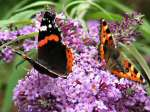 Red Admiral, Cotehele Gardens