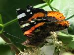 Red Admiral, Slapton Ley