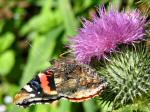 Red Admiral, Whitsand