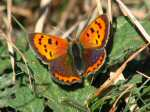 Small Copper - Lundy Hole