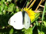 Small White Butterfly, Cotehele Gardens