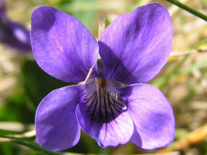 Common Dog Violet, Treknow, Cornwall