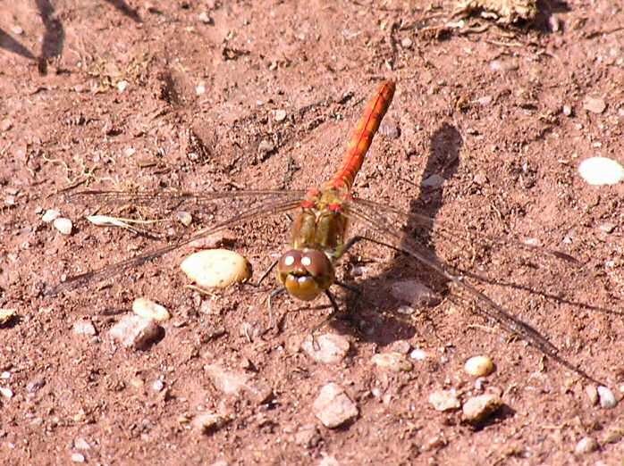 Common Darter Dragonfly, Slapton Ley