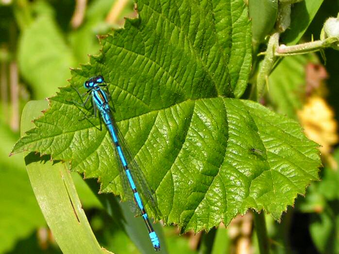 Common Blue Damselfly, Slapton Ley