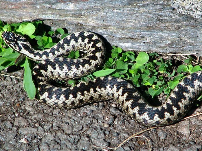 Adder, Start Point, Devon