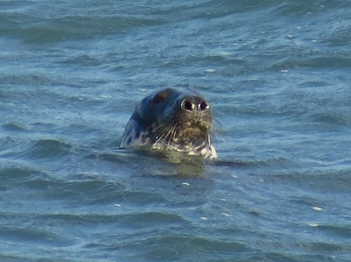Grey Seal - Harlyn Bay